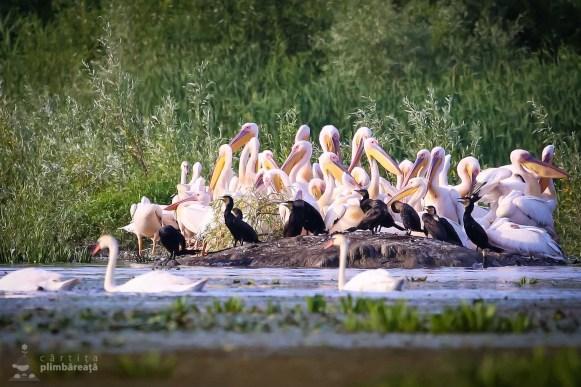 Adunare de pelicani si cormorani_2