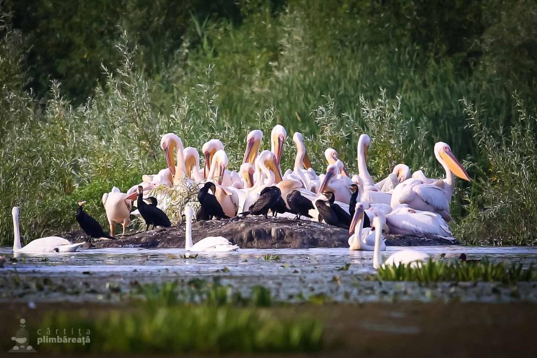 Sedinta comuna a pelicanilor si cormoranilor