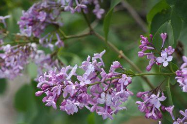 Liliac salbatic (Syringa vulgaris) - Cazanele Dunarii