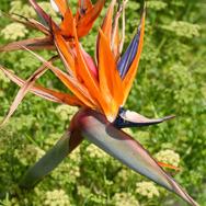 Madeira---Paul-do-Mar---Strelitia-thumb
