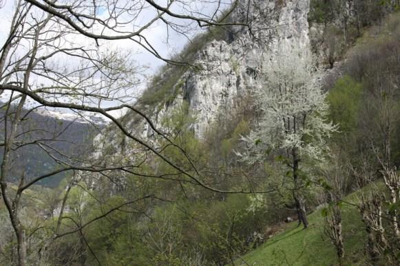 Ciresii infloriti contrasteaza cu zapezile din departare, in Godeanu - Poienile de Sus ale Cernei