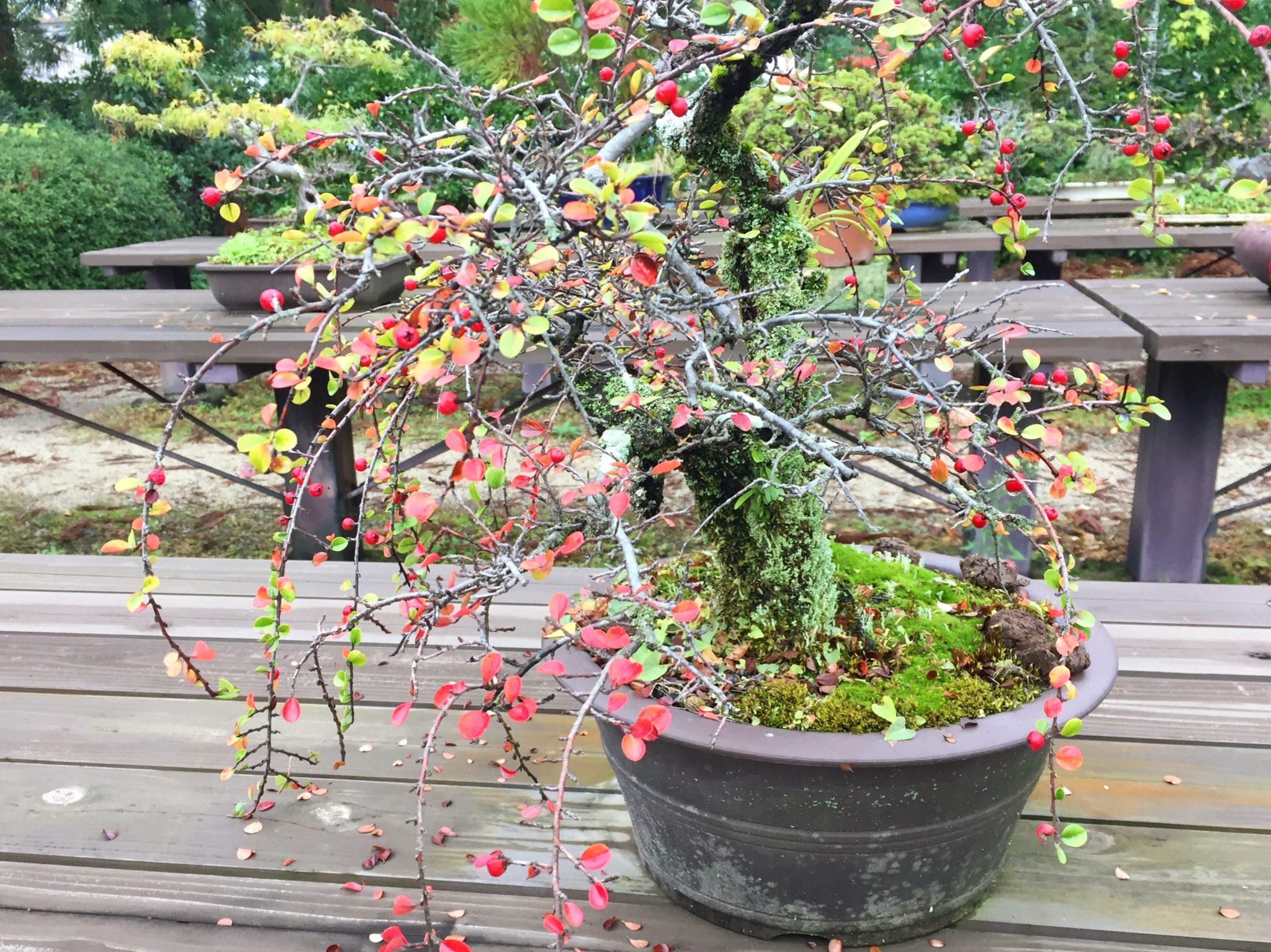 京都府立植物園の盆栽