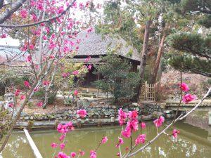 梅宮大社の神苑の梅