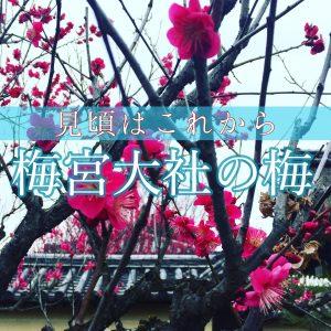 梅宮大社の梅の記事のアイキャッチ画像