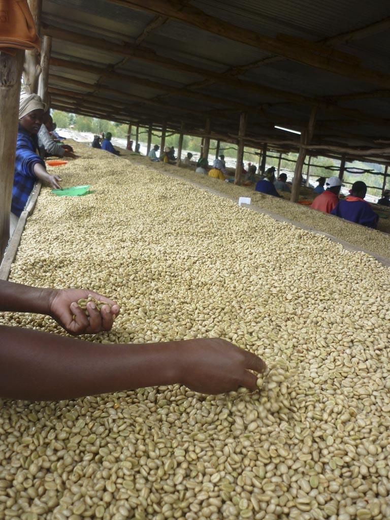 sorting-coffee-at-musasa via @carvetiicoffee