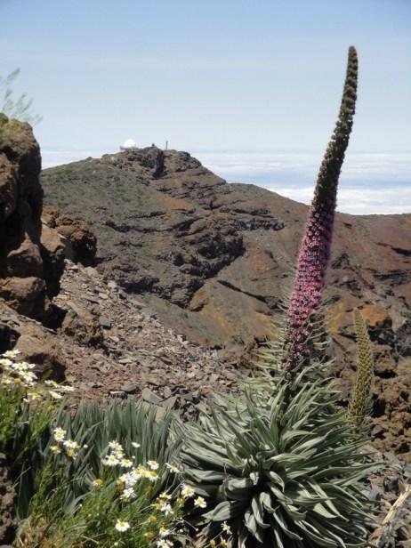 Tajinastes au Roque de Los Muchachos à La Palma
