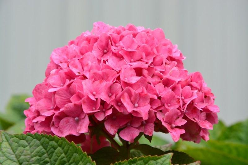 Como plantar e cuidar de hortênsias 01 Vision Art NEWS