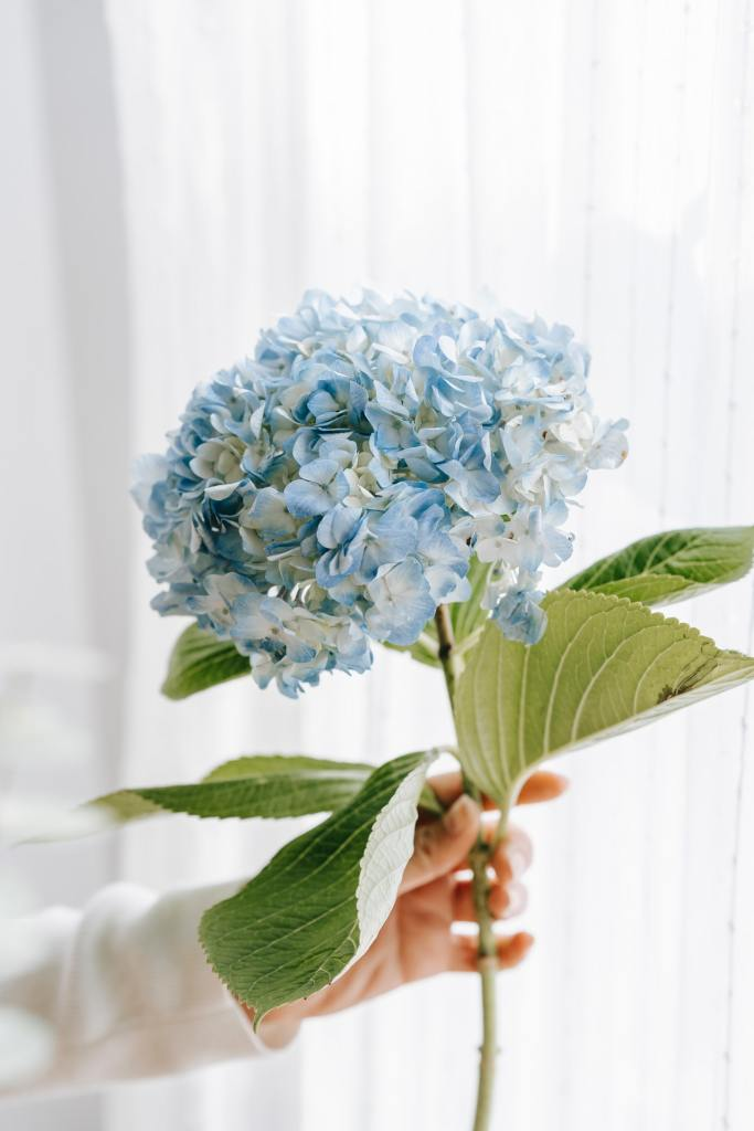 Como plantar e cuidar de hortênsias 04 Vision Art NEWS