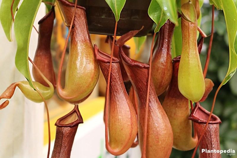Como plantar e cuidar de plantas carnívoras 07 Vision Art NEWS