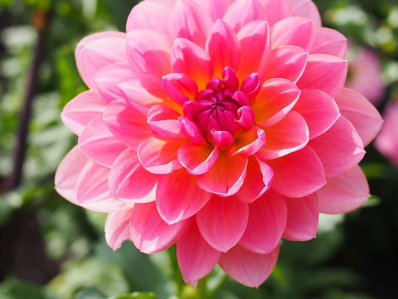 dalia flores jardim dicas cultivo f d richards flickr Vision Art NEWS