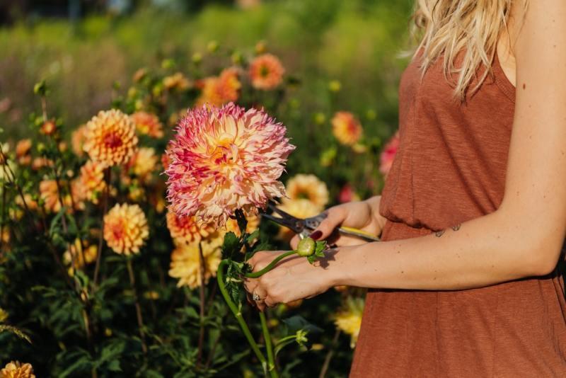 dalia flores jardim dicas cultivo pexels karolina grabowska Vision Art NEWS
