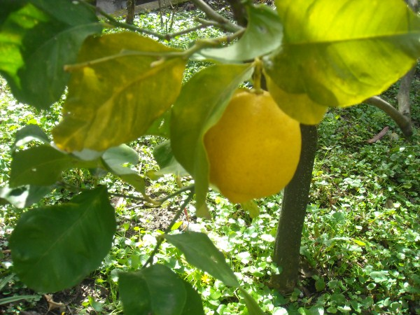 trasplante de limón
