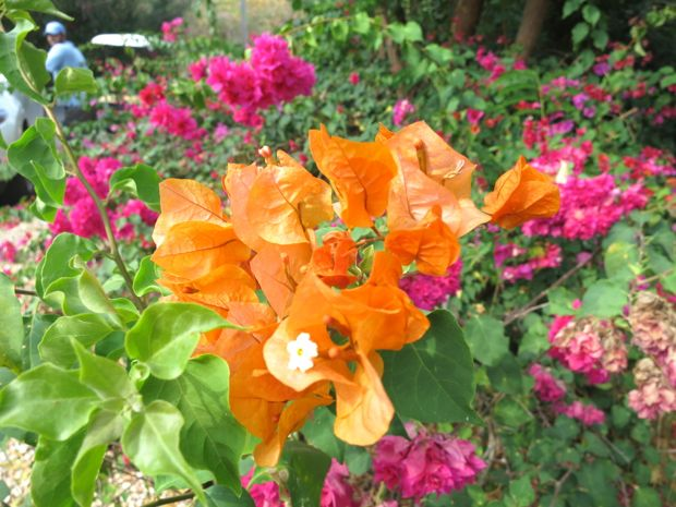 trinitaria flower
