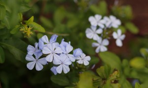 Isabel Segunda flower