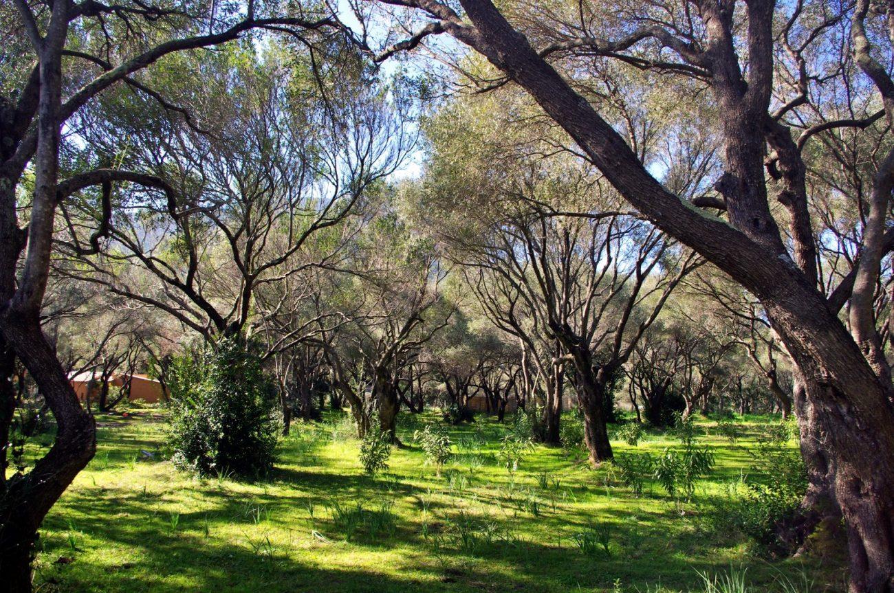 Les emplacements de camping sont à l'ombre d'oliviers pluri-centenaires