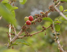 Coffee berries turn red when they are ripe and ready to pick.