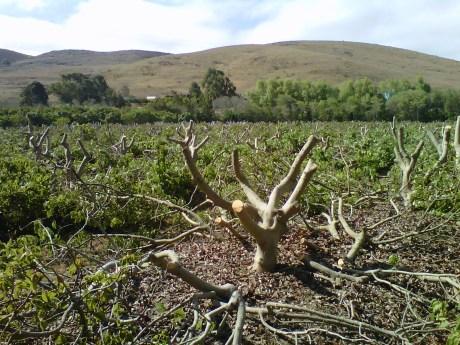 Stumped Avocado Trees