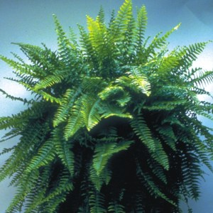 A Blue Bell Fern against a light blue background