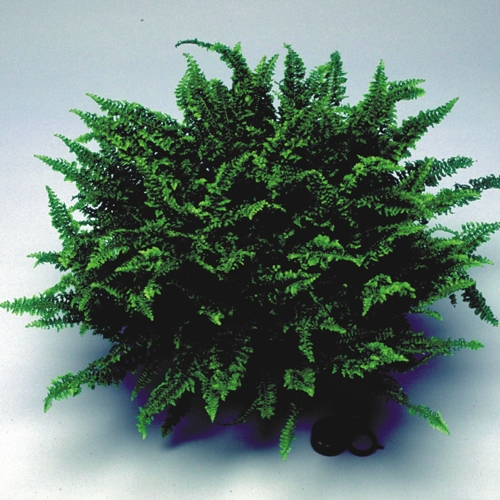 A potted Fluffy Ruffles Fern against a light background.