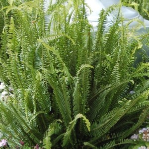 California Upright Sword Fern in a home garden.