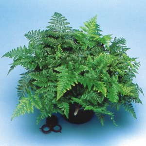 A potted Black Rabbit's Foot Fern against a blue background