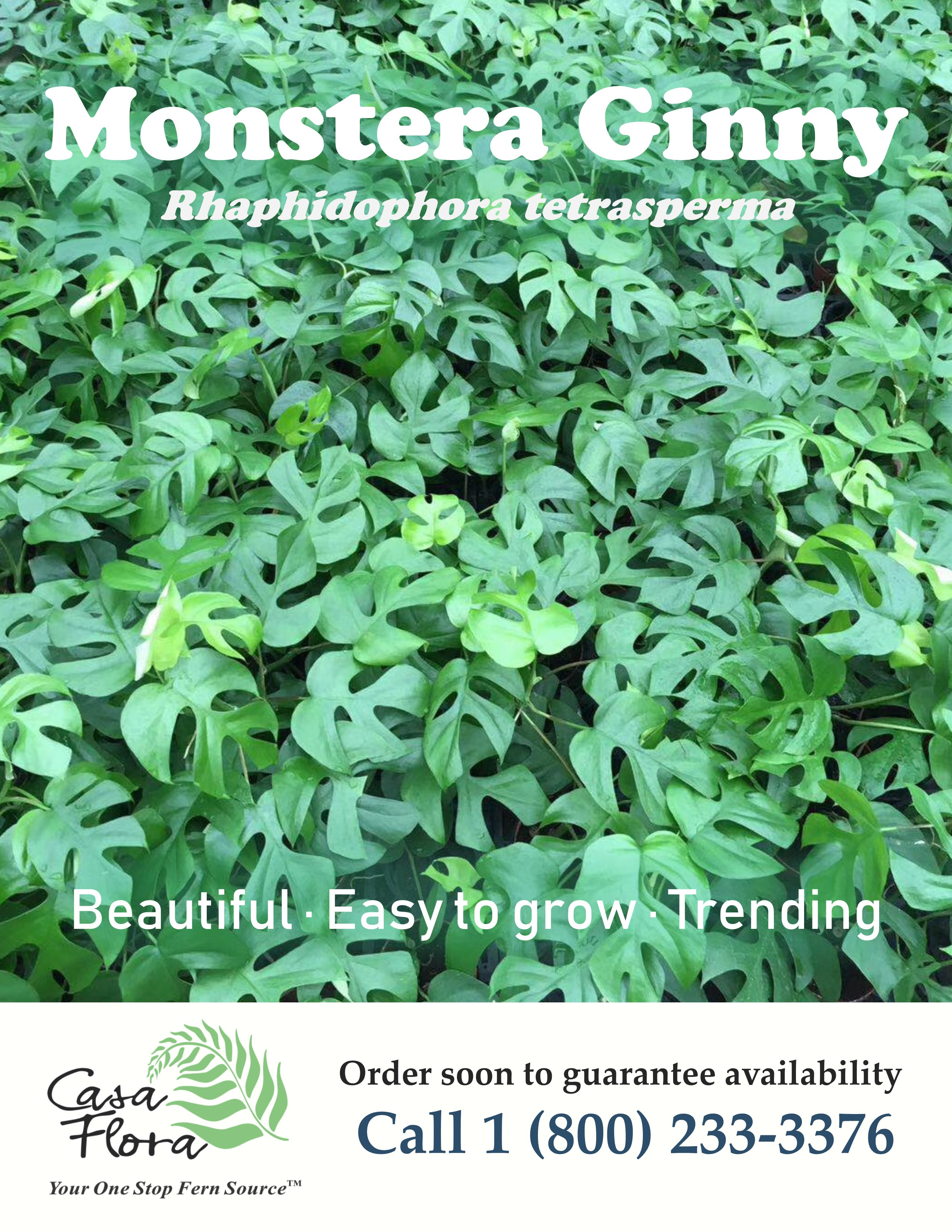 Monstera Ginny Flyer with the words beautiful, easy to grow, and trending