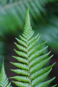 Image of a single fern frond standing upright.