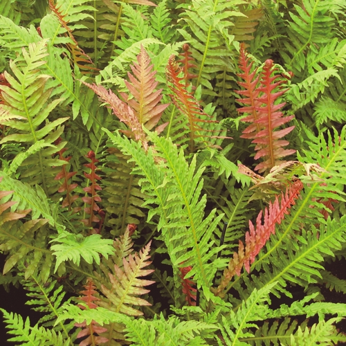 A clump of Crested Brazilian Tree Fern