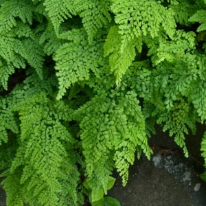 Himalayan Maidenhair Fern displaying delicate flowing fronds.