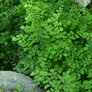Southern Maidenhair Fern growing in a rock garden.