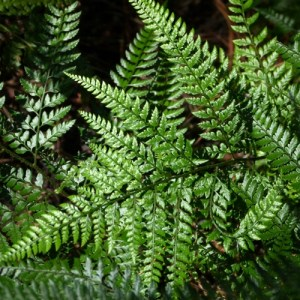 Shiny Bristle Fern