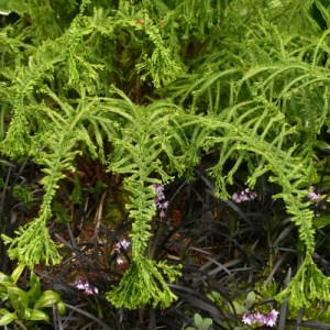 Victoria Lady Fern growing in a flower bed.