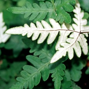 Detailed image of Silver Cloak Fern showing off the strikingly white underside of the frond.