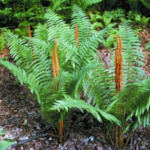 Cinnamon Fern with reddish brown fertile fronds.