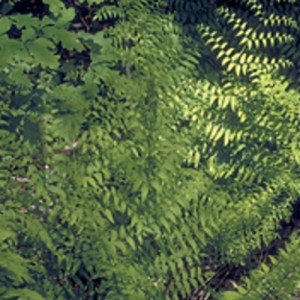 American Royal Fern growing in a wooded area