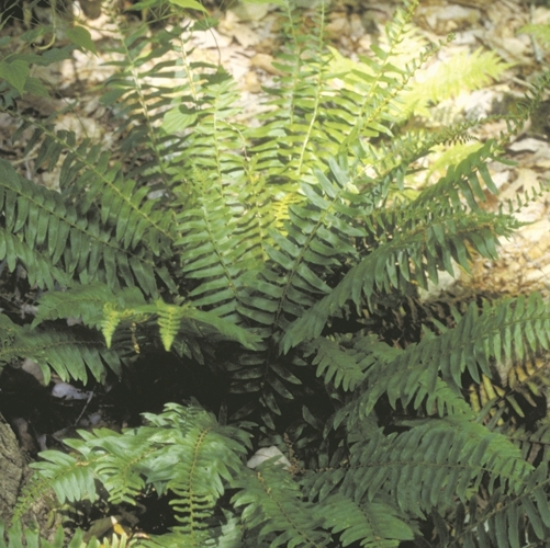 Christmas Fern growing in a wooded area.