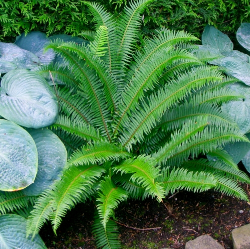 Western Sword Fern planted in a garden