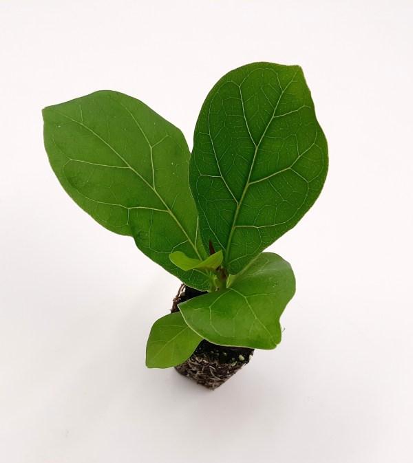 Ficus lyrata 'Bambino' plug