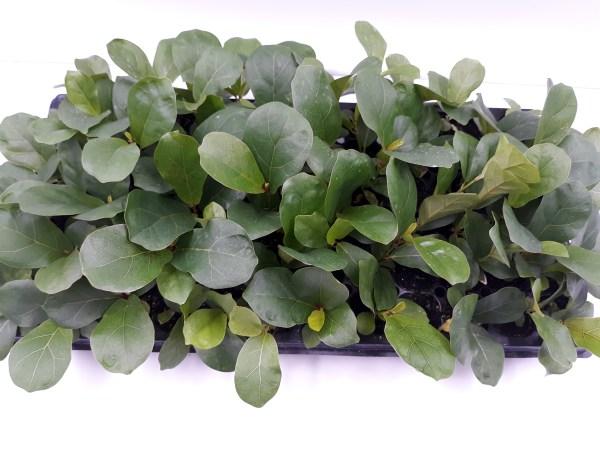 Ficus lyrata 'Bambino' tray top