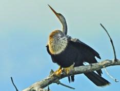 Frigatebird - Frigata