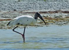 Wood Stork- Cigüena Americana - Gayetan