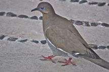 Turcasa, white-winged dove