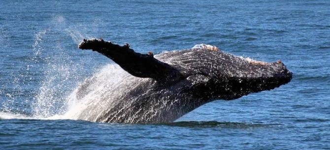 Ver baleias em Hermanus