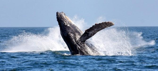 Ver baleias em Hermanus, na África do Sul