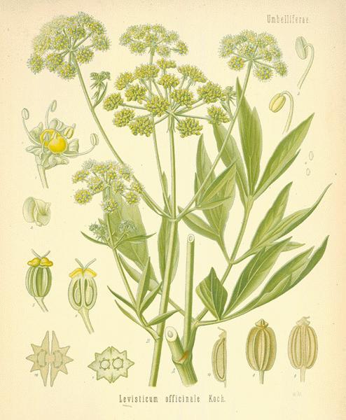 The Herb Garden - lovage — www.italyfoodandwinetours.com