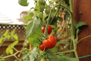 do you grow your own tomatoes?