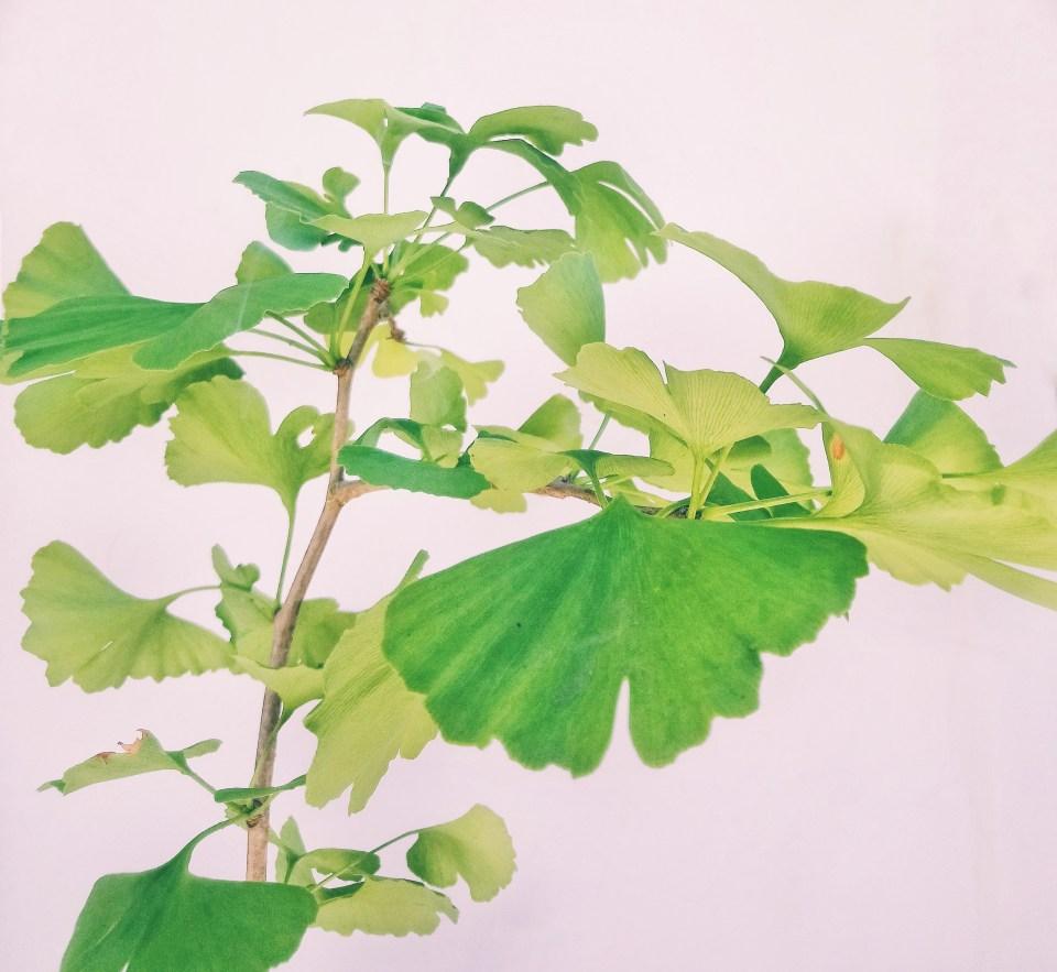 árbol Gingko Biloba