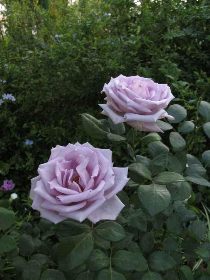 rosales en el jardín
