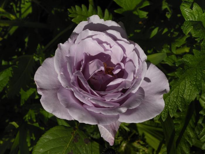 tipos de rosales