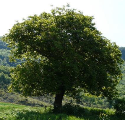 Arbol de nogal for Las caracteristicas de los arboles